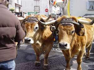 Aubrac_bulls-1